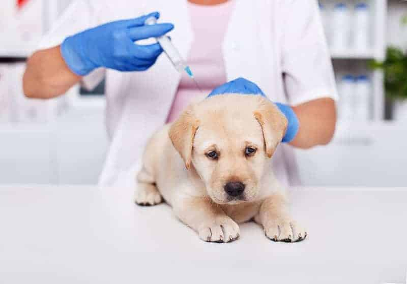 Które psy są najbardziej narażone na zarażenie?