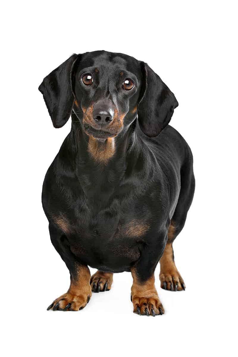 Czy moje zwierzę jest otyłe?