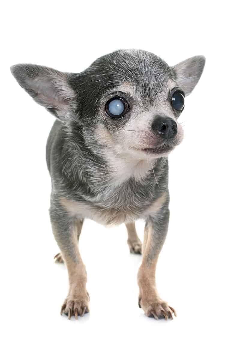 Przyczyny nagłej ślepoty u psa