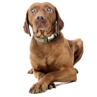 Ślepota u psa