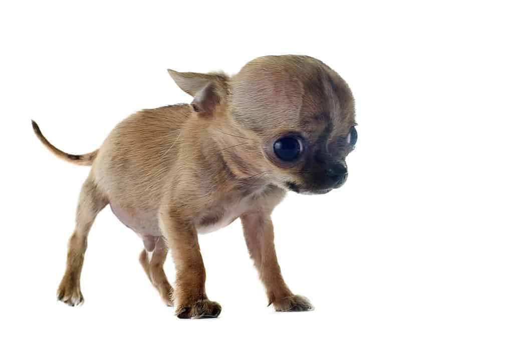 Wodogłowie u psa
