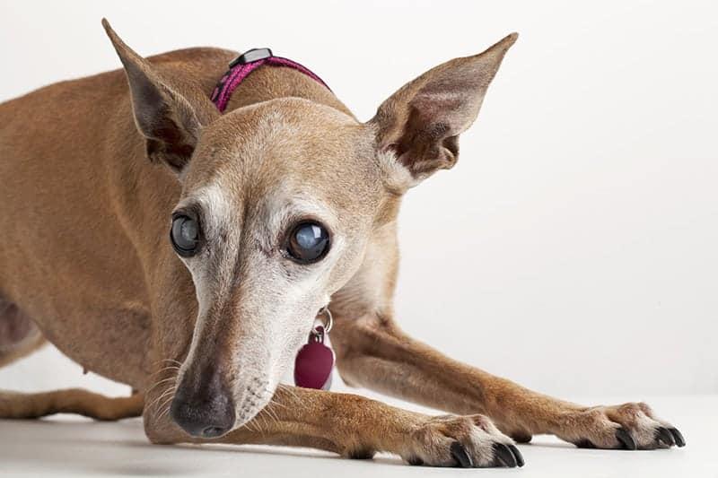 Jak postępować z niewidomym psem?