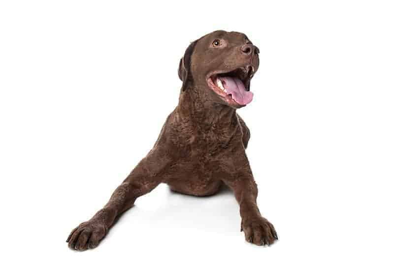 Chesapeake Bay Retriever charakter