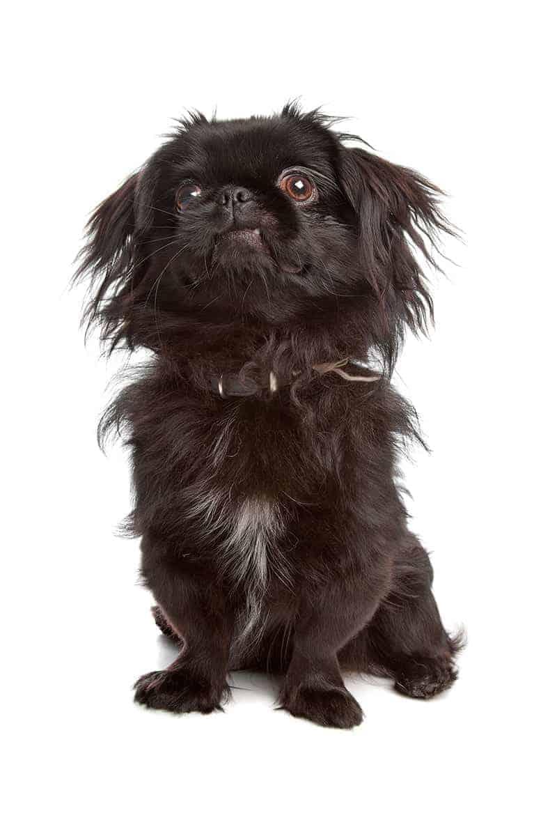 Jak wyglądają psy tej rasy?