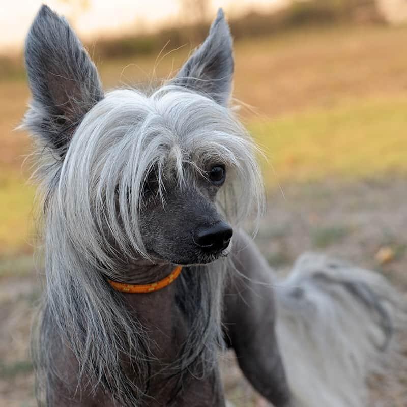 Jak wygląda ta rasa psa?