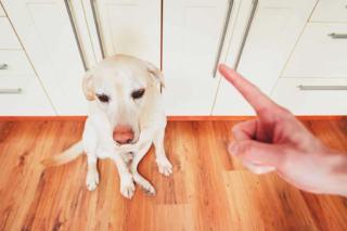 Poczucie winy u psa