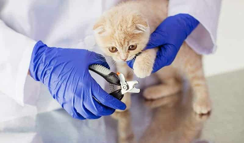 Jak przyzwyczaić kota do przycinania pazurów?