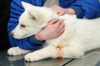 Transfuzja krwi psa