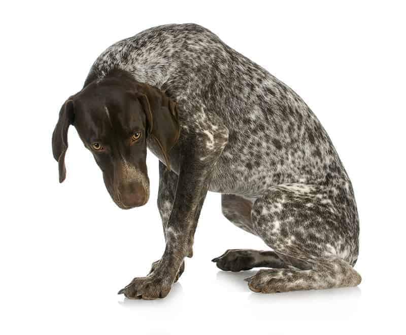 Dlaczego pies nie czuje się winny?