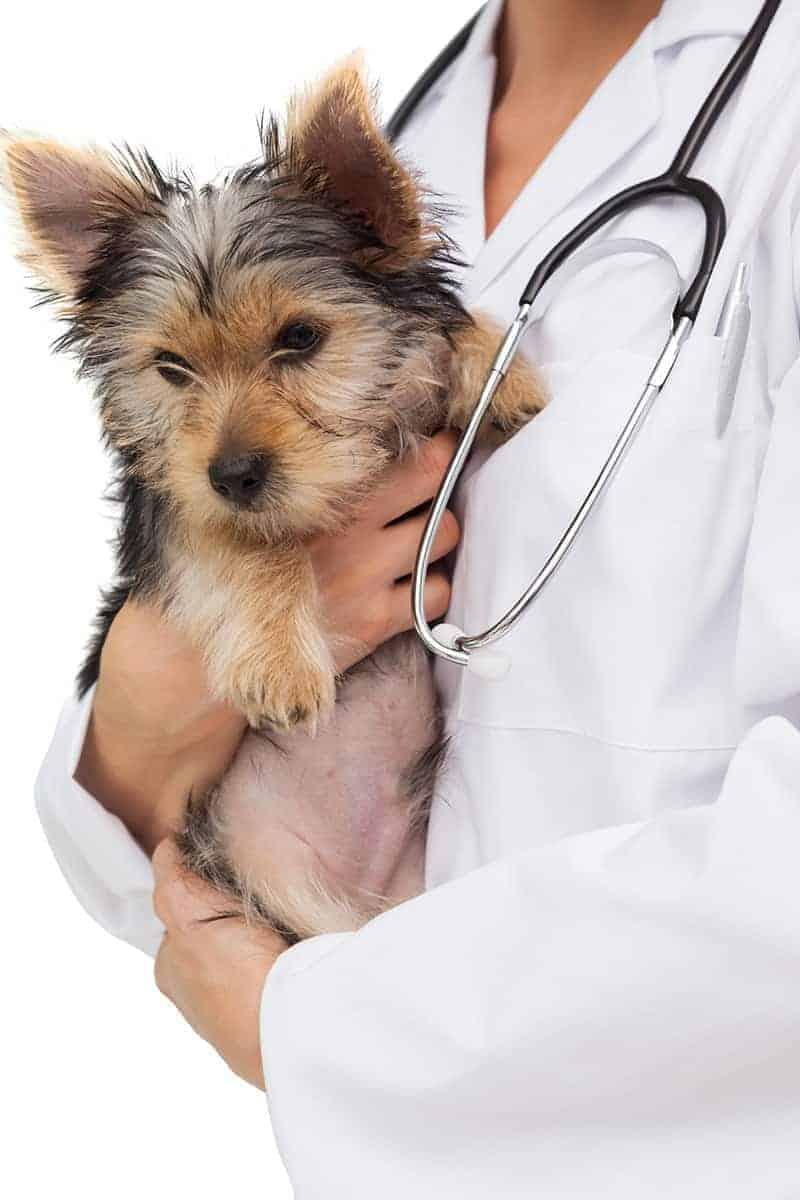 Objawy wnętrostwa u psa