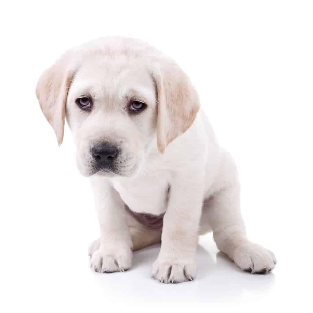 Zespolenie wrotno oboczne u psa