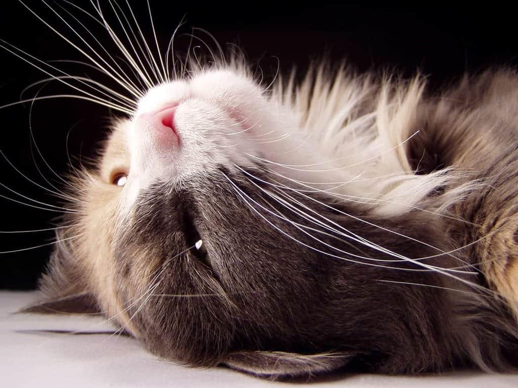 Wąsy kota