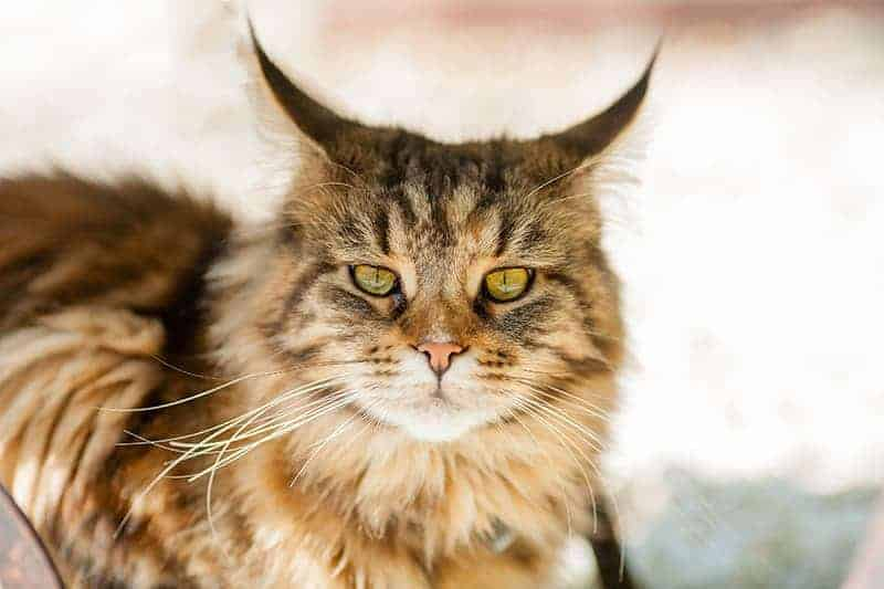 Wąsy u kota choroby