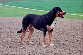 Duży szwajcarski pies pasterski