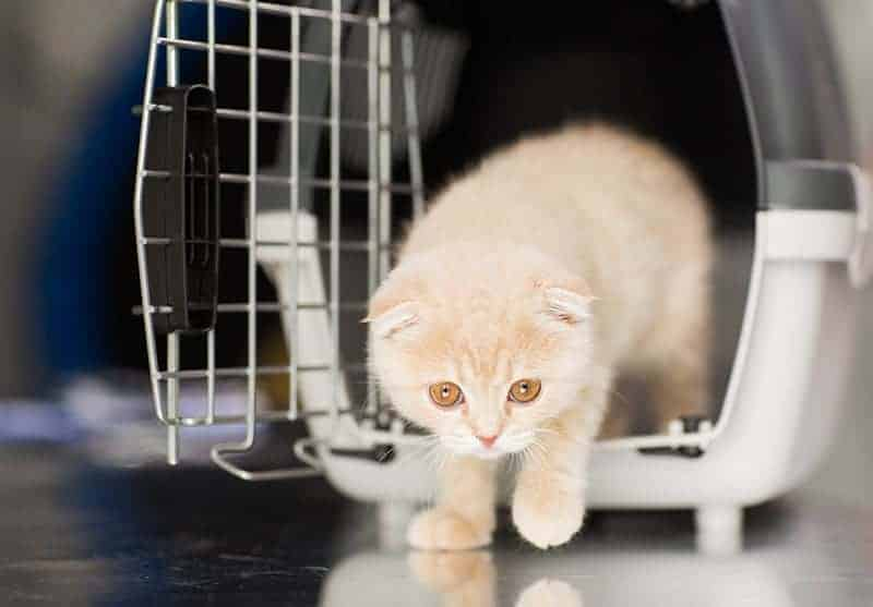 Wielocystowatość nerek u kota objawy