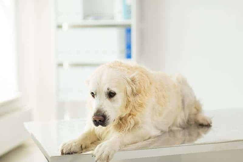 Najczęstsze objawy zaburzeń neurologicznych u psa