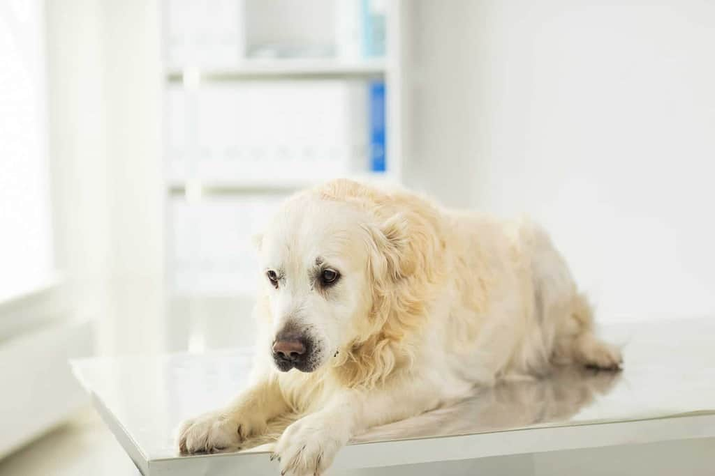 Mocznica u psa