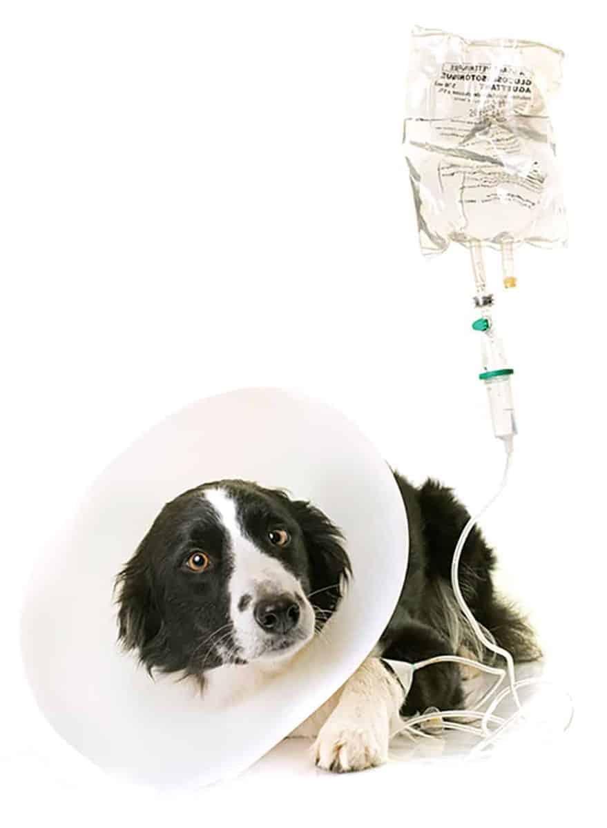 Leczenie wrzodów u psów