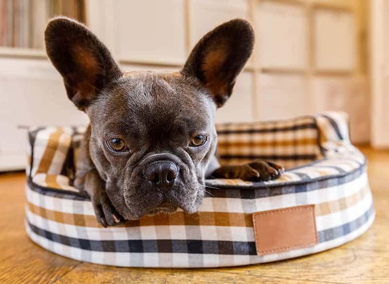 Wrzody żołądka u psa: objawy