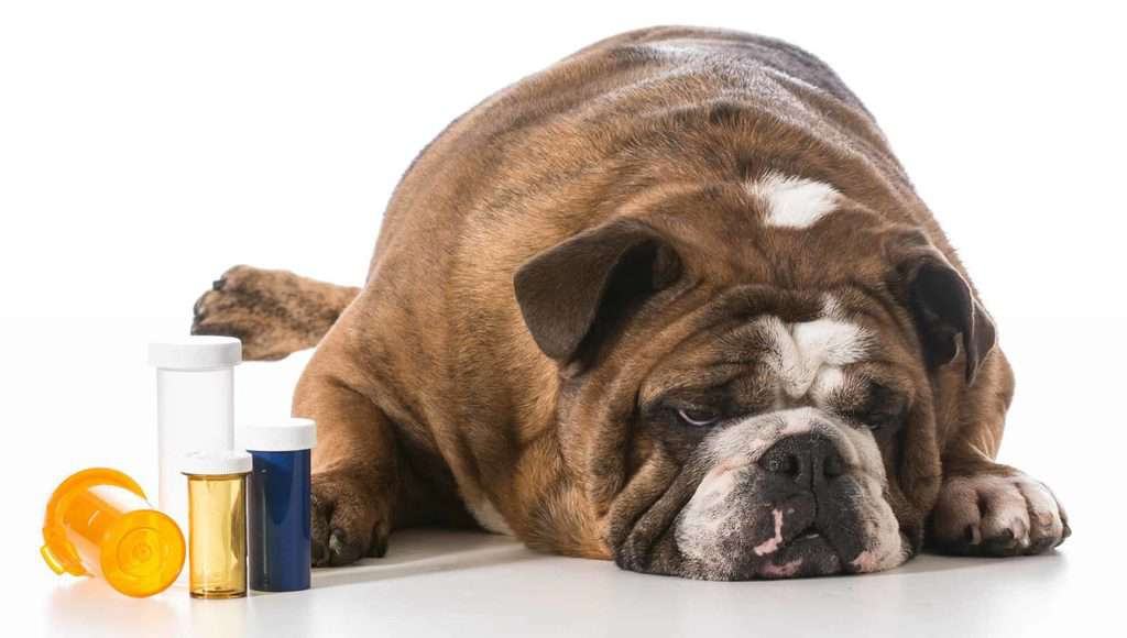Wrzody żołądka u psa