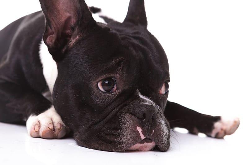 Syndrom oddechowy psów krótkoczaszkowych