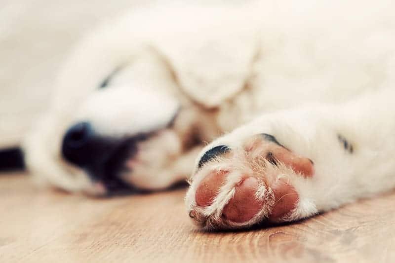 Przyczyny chrapania u psów