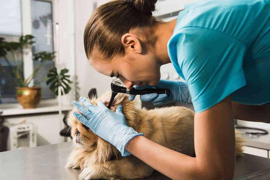 Głuchota u psa