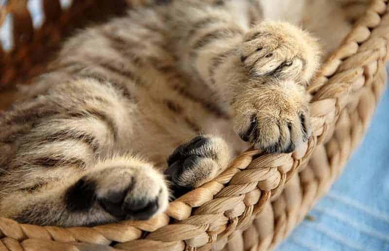 Jak przyzwyczaić kota do legowiska