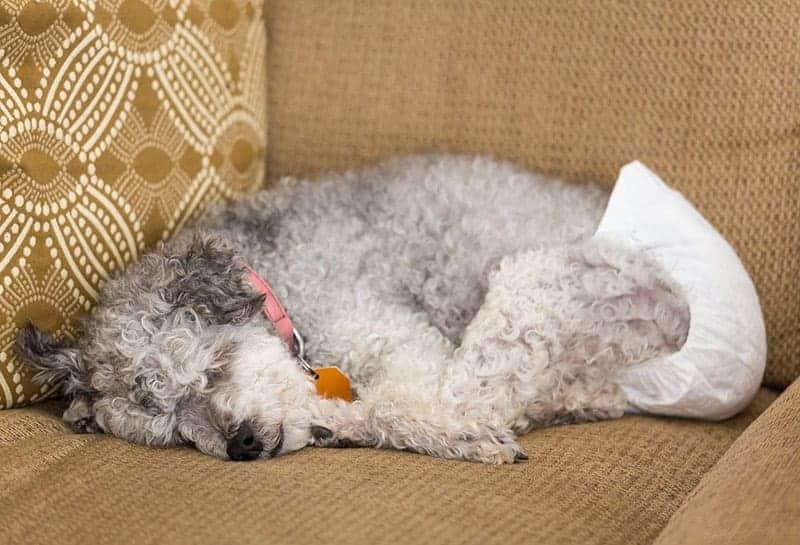 Pieluchy dla psa