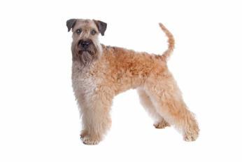 Irish soft coated wheaten terrier