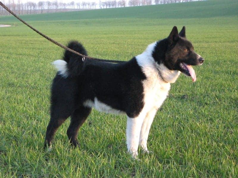Karelski pies na niedźwiedzie
