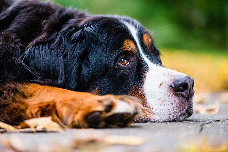 Przyczyny depresji u psa