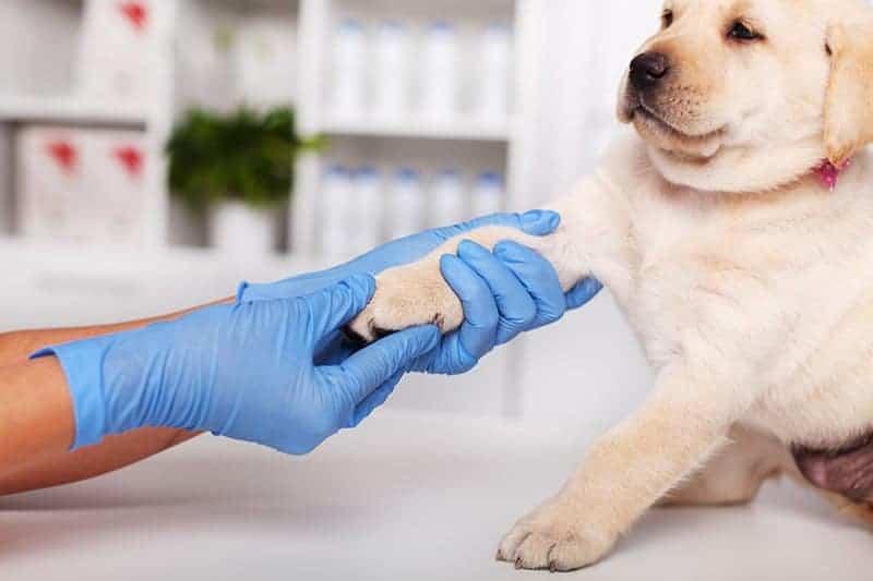 Choroby ortopedyczne młodych psów