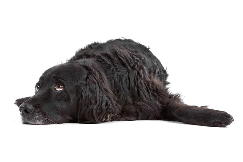 Depresja u psa