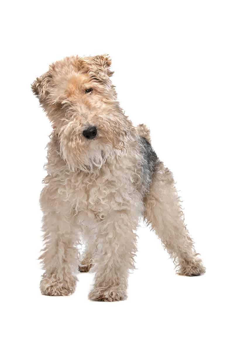 Dla kogo będzie to idealna rasa psa?
