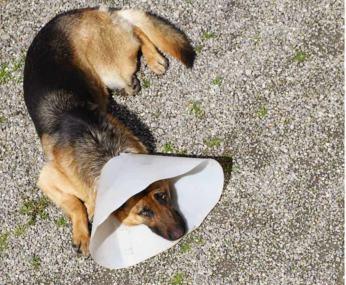 Toczeń u psa
