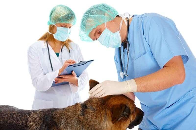 Toczeń rumieniowaty u psa