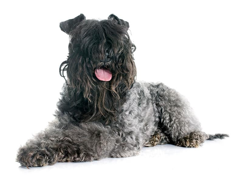 Kerry blue terrier choroby