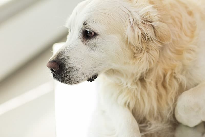 Zapalenie opon mózgowych u psa