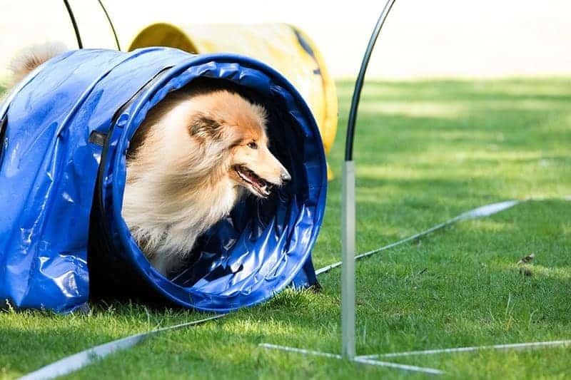Sport dla psa: agility