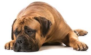 Zerwanie więzadła krzyżowego u psa