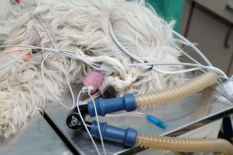 Leczenie zerwania więzadła krzyżowego u psa