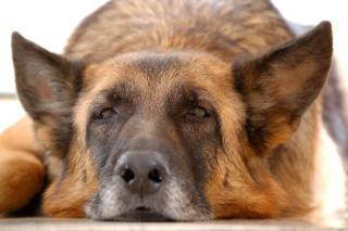 Guzy na śledzionie u psa