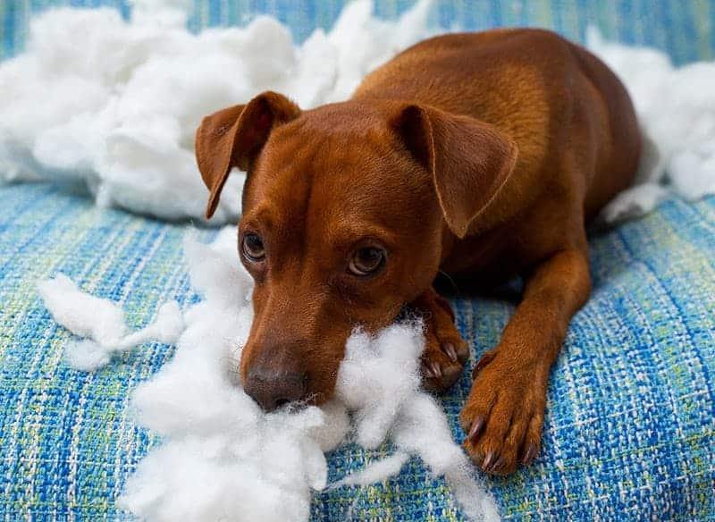 Nadpobudliwość u psa