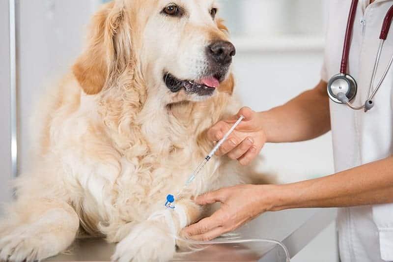Leczenie naczyniakomięsaka śledziony u psa