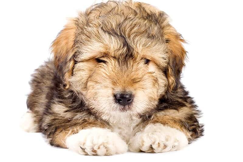 Niekardiogenny obrzęk płuc u psa