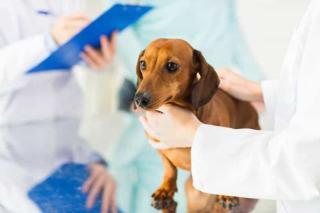 Wstrząs anafilaktyczny u psa
