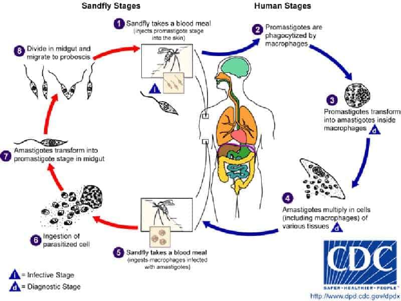 Leishmania cykl życia