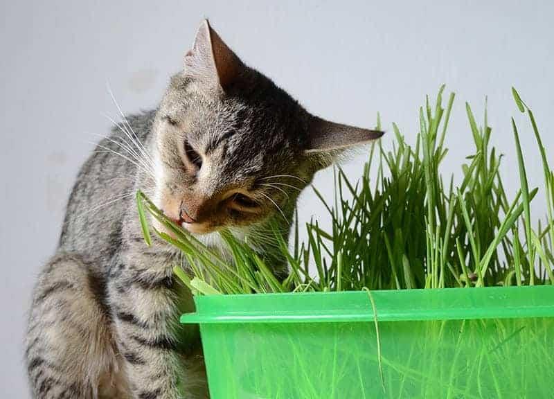 Dlaczego kot je rośliny?
