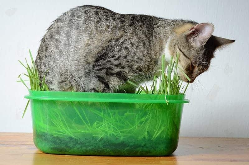 Jak dbać o kocią trawę?